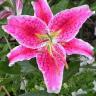 Lily Flower Wallpaper