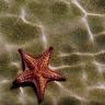 Sandy Starfish Live Wallpaper
