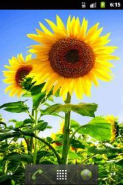 Bright Sunflowers Wallpaper