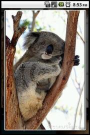 Koala Puzzle