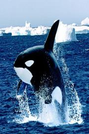 Orca Wallpapers HD